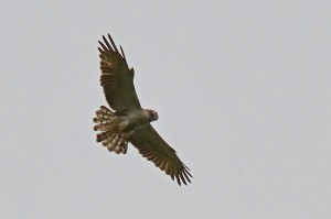 Short-toed Eagle on Ashdown Forest, 15th June 2014