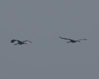 common-cranes-1.jpg