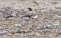 Sanderlings, Knot and Turnstone