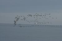 Skein of Brent Geese