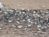 Sanderling and Knot