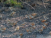 Brambling Flock