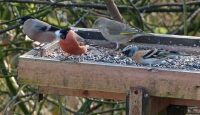 Bullfinch and Brambling