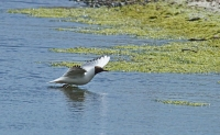 Black Headed Gull Flying.jpg