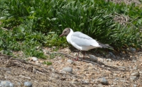 Black Headed Gull one.jpg