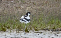 One Legged Avocet.jpg
