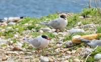 Pair Common Tern.jpg