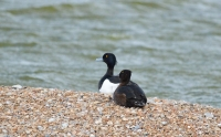 Tufted Duck Pair.jpg
