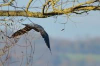 Peregrine in flight 4a.jpg