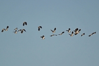Lapwings in flight 1.jpg