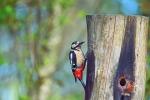 Great Spot Woodpecker