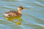 Little Grebe_00002399.jpg