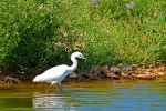 Little Egret_00002404.jpg