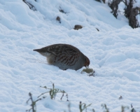 grey-partridge-1.jpg